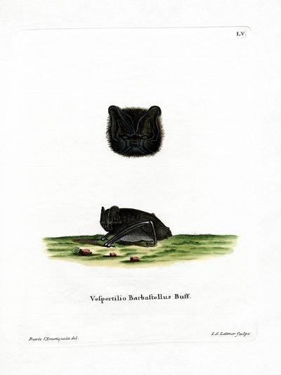 Western Barbastelle--Giclee Print