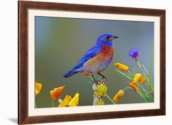 Western Bluebird Male--Framed Photographic Print