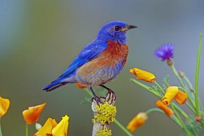 Western Bluebird Male--Photographic Print