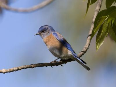 Western Bluebird, San Diego County, California, USA-Diane Johnson-Photographic Print