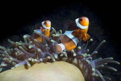Western Clown Anemonefish and Sea Anemone (Heteractis Magnifica), Southern Thailand-Andrew Stewart-Photographic Print
