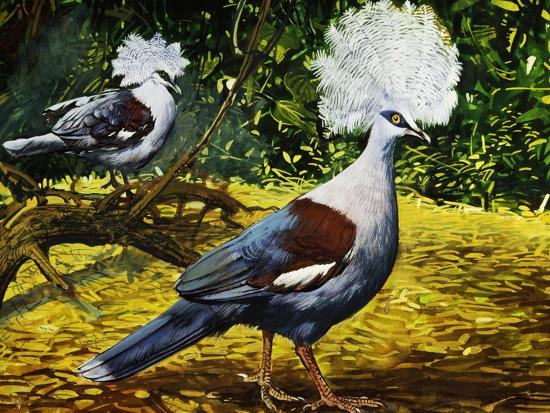 Western Crowned Pigeon or Blue Crowned Pigeon (Goura Cristata), Columbidae--Giclee Print
