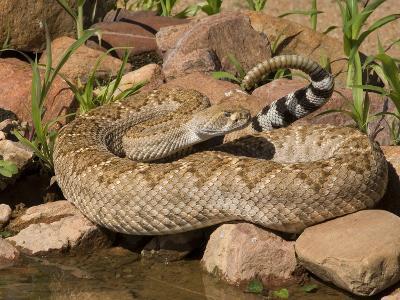 Western Diamondback Rattlesnake (Crotalus Atrox) at a Desert Waterhole, Western USA-Tom Walker-Photographic Print