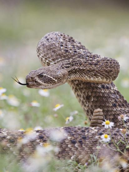 Western Diamondback Rattlesnake, Texas, USA-Larry Ditto-Photographic Print