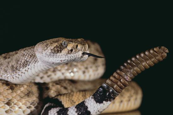 Western Diamondback Rattlesnake-DLILLC-Photographic Print