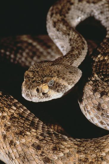 Western Diamondback Rattlesnake Photographic Print by DLILLC | Art com