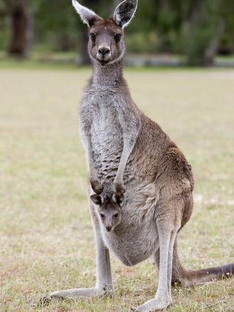 Western Gray Kangaroo (Macropus Fuliginosus) With Joey in Pouch, Yanchep National Park, Australia--Photographic Print