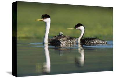 Western Grebe couple with one parent carrying chick on its back, New Mexico-Tim Fitzharris-Stretched Canvas Print
