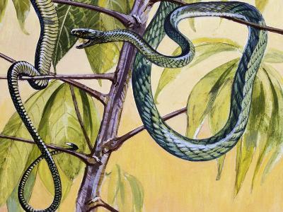 Western Green Mamba or Hallowell's Green Mamba (Dendroaspis Viridis), Elapidae--Giclee Print