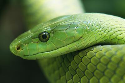 Western Green Mamba Snake--Photographic Print