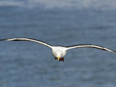 Western Gull in Flight over the Pacific, California-Tim Laman-Photographic Print