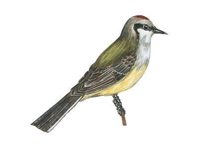 Western Kingbird (Tyrannus Verticalis), Birds-Encyclopaedia Britannica-Art Print