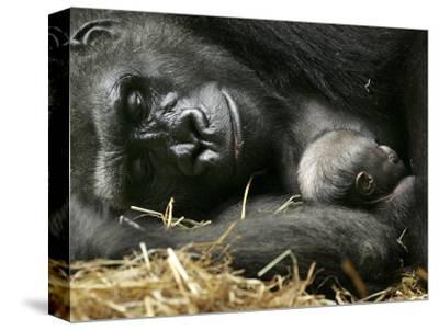 Western Lowland Gorilla, Cradles Her 3-Day Old Baby at the Franklin Park Zoo in Boston