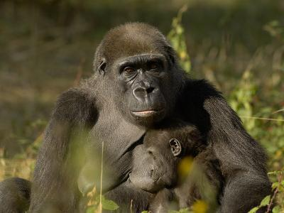 Western Lowland Gorilla (Gorilla Gorilla Gorilla) Mother Breastfeeding Young, Captive-Dave Watts-Photographic Print