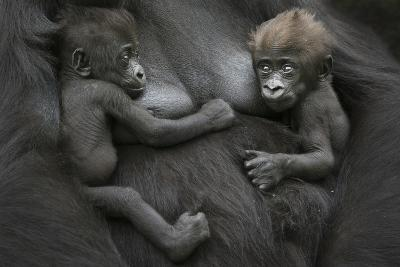 Western Lowland Gorilla (Gorilla Gorilla Gorilla) Twin Babies Age 45 Days Resting on Mother's Chest-Edwin Giesbers-Photographic Print