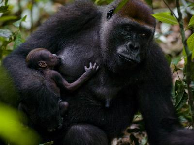 Western Lowland Gorilla Mother Breastfeeding Her Infant-Ian Nichols-Photographic Print