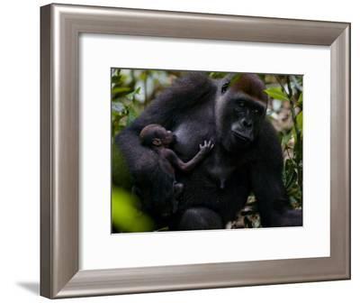 Western Lowland Gorilla Mother Breastfeeding Her Infant-Ian Nichols-Framed Photographic Print