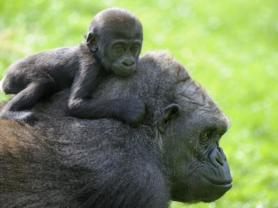 Western Lowland Gorilla Mother Carrying Baby on Her Back. Captive, France-Eric Baccega-Photographic Print