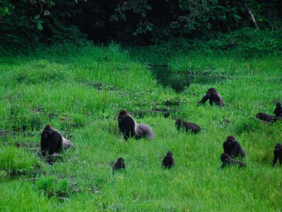 Western Lowland Gorillas Foraging in the Bai-Michael Nichols-Photographic Print