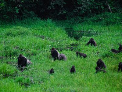 https://imgc.artprintimages.com/img/print/western-lowland-gorillas-foraging-in-the-bai_u-l-p3qxfd0.jpg?p=0