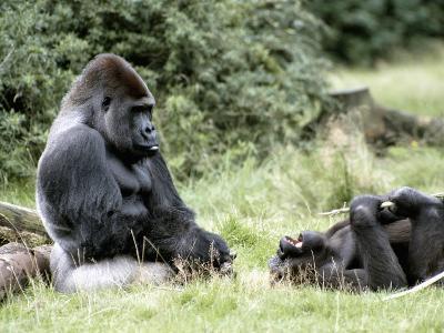 Western Lowland Gorillas--Photographic Print