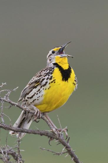 Western Meadow Lark Singing-Ken Archer-Photographic Print