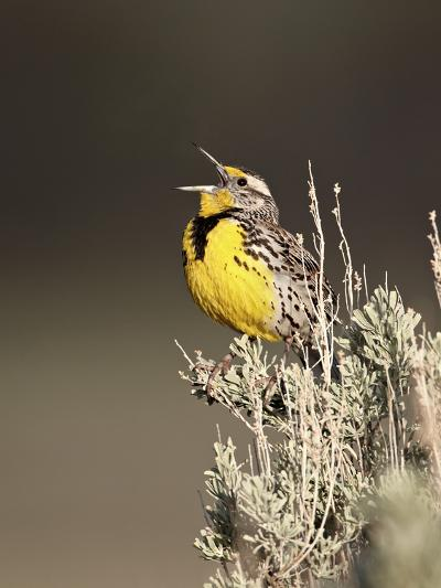 Western Meadowlark (Sturnella Neglecta) Singing, Yellowstone National Park, Wyoming, USA-James Hager-Photographic Print