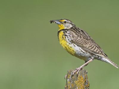 Western Meadowlark with an Insect in its Bill (Sturnella Neglecta), North America-Steve Maslowski-Photographic Print