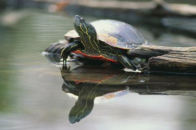 Western Painted Turtle Reflected in Pond Water-DLILLC-Photographic Print