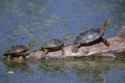 Western Painted Turtle, Two Sunning Themselves on a Log, National Bison Range, Montana, Usa-John Barger-Photographic Print