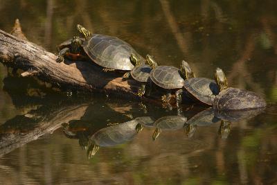 Western Painted Turtles, Sunning, Ridgefield NWR, Washington, USA-Michel Hersen-Photographic Print