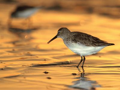 Western Sandpiper, Florida, USA-Olaf Broders-Photographic Print