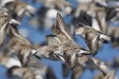 Western Sandpipers, Migration Flight-Ken Archer-Photographic Print