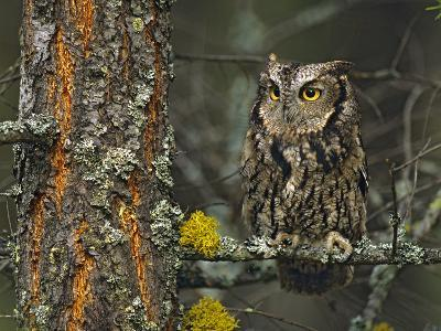 Western Screech-Owl Hanging Out in a Tree, British Columbia, Canada-Tim Fitzharris-Photographic Print