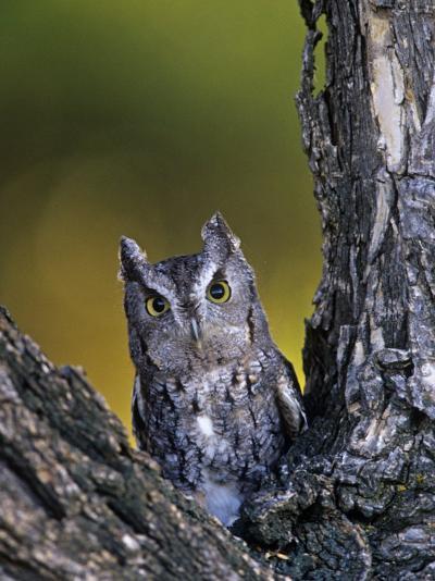 Western Screech Owl in a Coniferous Forest, Otus Kennicotti, Western North America-Jack Michanowski-Photographic Print