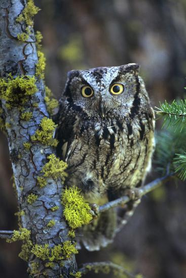 Western Screech Owl with a Shocked Look, British Columbia, Canada-Tim Fitzharris-Photographic Print