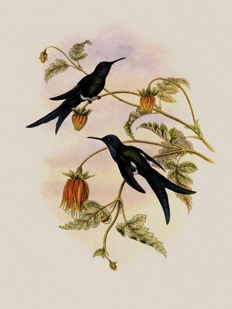 https://imgc.artprintimages.com/img/print/western-swallow-tail-eupetomena-hirundo_u-l-q1bvmg00.jpg?p=0