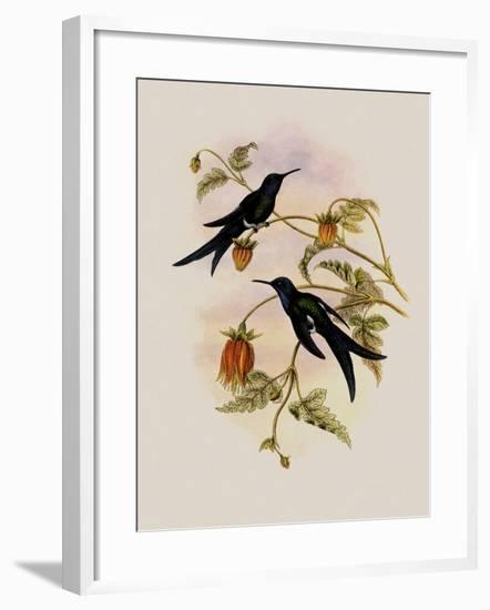 Western Swallow-Tail, Eupetomena Hirundo-John Gould-Framed Giclee Print