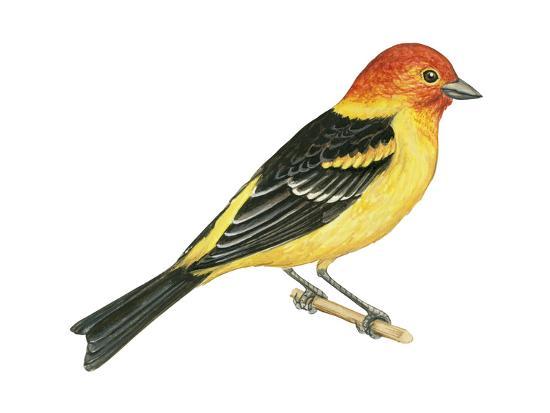 Western Tanager (Piranga Ludoviciana), Birds-Encyclopaedia Britannica-Art Print