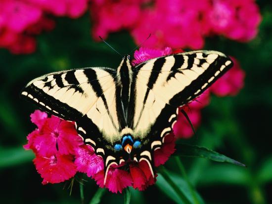 Western Tiger Swallowtail Butterfly-Darrell Gulin-Photographic Print