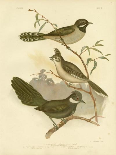 Western Whipbird, 1891-Gracius Broinowski-Giclee Print