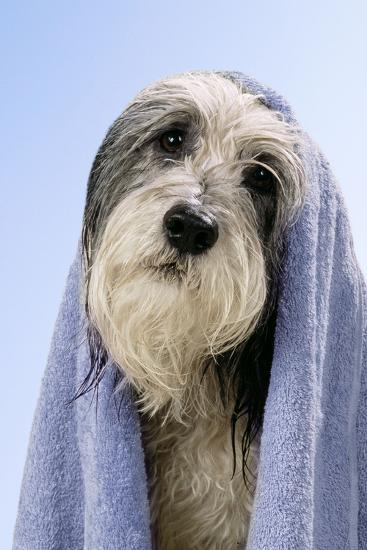 Wet Dog with Towel, Close-Up of Head--Photographic Print