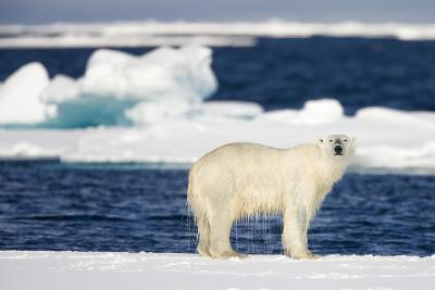 Wet Polar Bear on Pack Ice in the Svalbard Islands-Paul Souders-Photographic Print