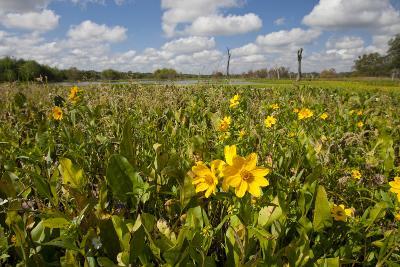 Wetland Sunflowers, Emergent Aquatic Flora, Brazos Bend State Park Marsh, Texas, USA-Larry Ditto-Photographic Print
