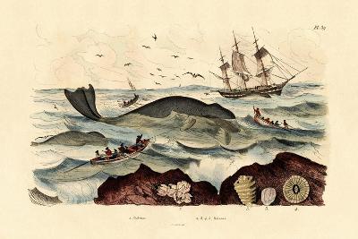 Whale, 1833-39--Giclee Print