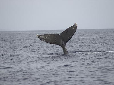 Whale's Tail- Maui, Hawaiian Islands-Keith Levit-Photographic Print