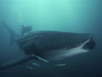 Whale Shark, 35 ft Long and Surrounded by Pilot Fish, Cruises for Krill with Open Mouth, Australia-David Doubilet-Photographic Print