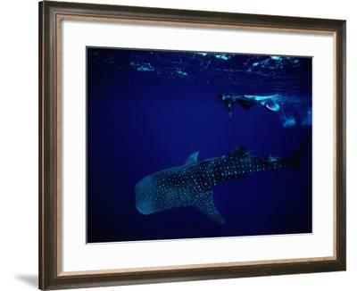 Whale Shark and Diver-Robert Halstead-Framed Photographic Print