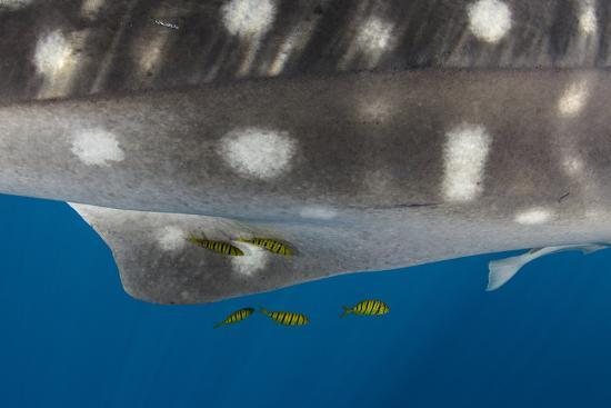Whale Shark and Golden Trevally, Cenderawasih Bay, West Papua, Indonesia-Pete Oxford-Photographic Print