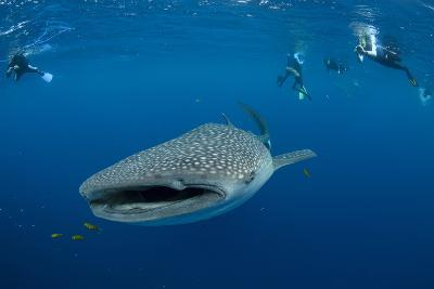 Whale Shark and People. Cenderawasih Bay, West Papua, Indonesia-Pete Oxford-Photographic Print